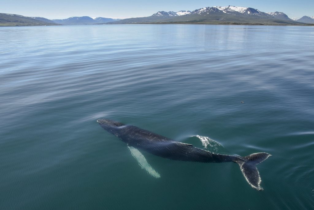 Whale & Bird Watching from Akureyri